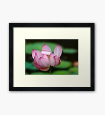 Lotus Ready To Open  2 Framed Print