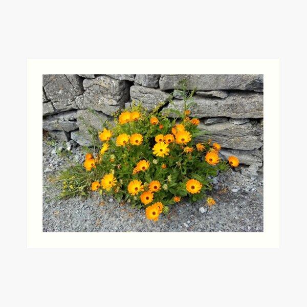 Wildflowers on Inisheer Island, Ireland Art Print
