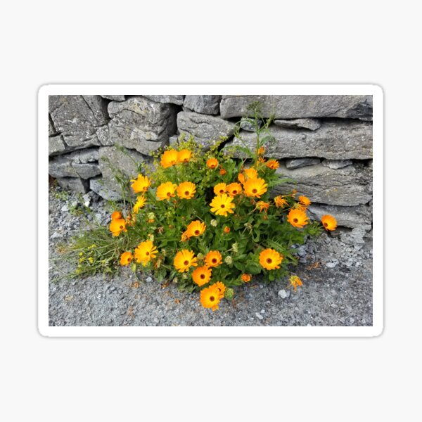Wildflowers on Inisheer Island, Ireland Sticker