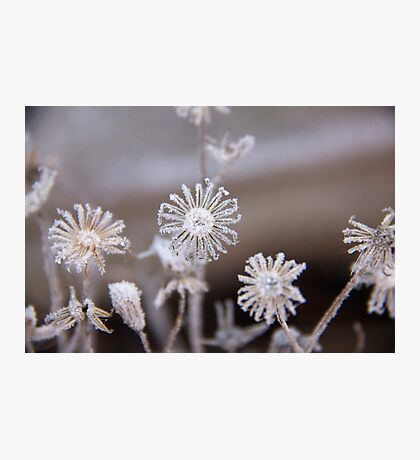 Frosted flowers Photographic Print