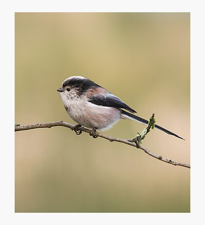 Long-tailed tit Photographic Print
