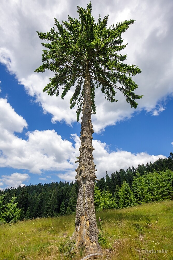 Secular fir tree on mountains by naturalis