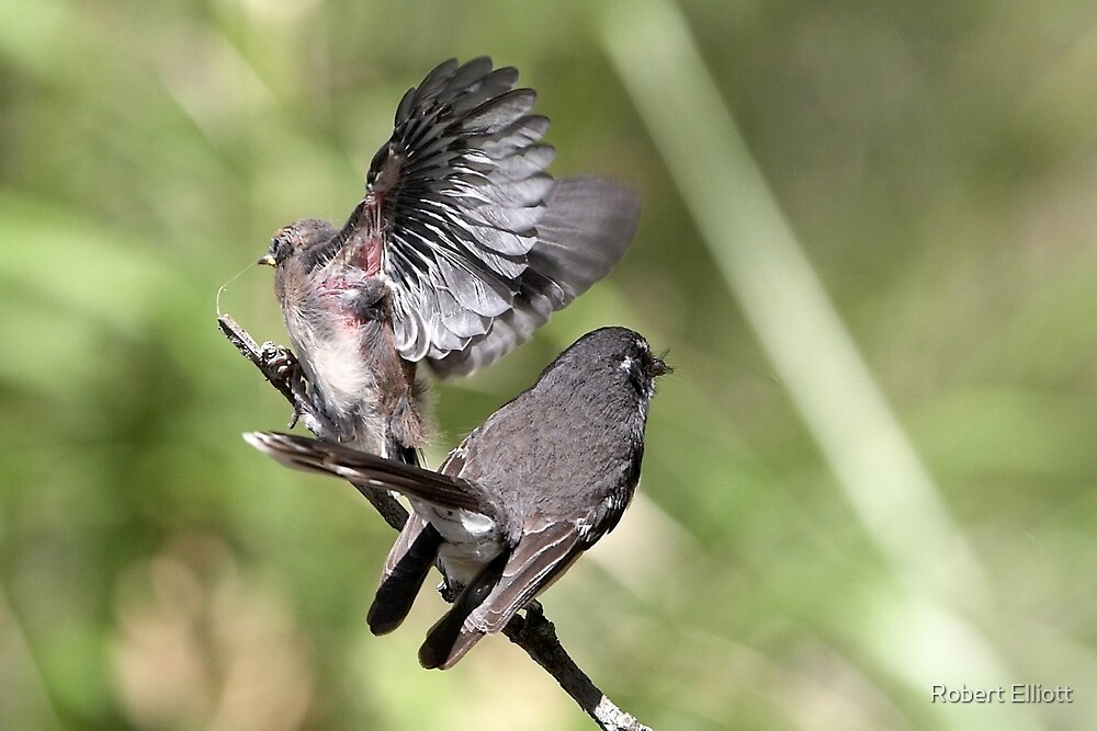Grey Fantail and chick ~ Just A Bench Test Dad  by Robert Elliott