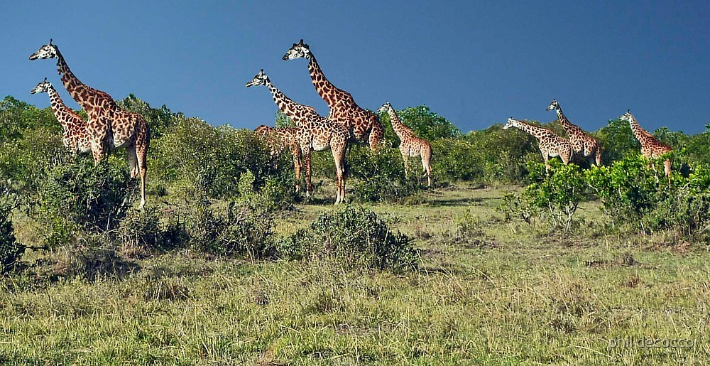 Tower Of Giraffes by phil decocco
