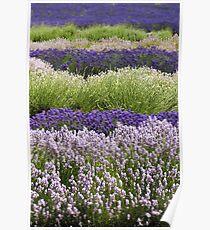 Lavender Bands  Poster