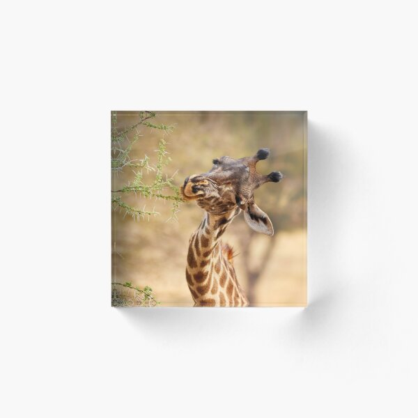 Thorny Mouthful for a Hungry Giraffe Acrylic Block