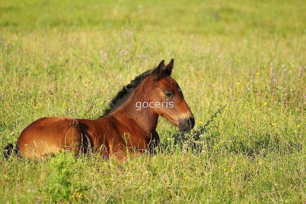 horse brown foal lying in pasture by goceris
