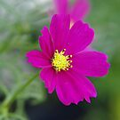 Blossom Cosmos by Rainy