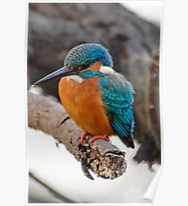 Eurasian Kingfisher Poster