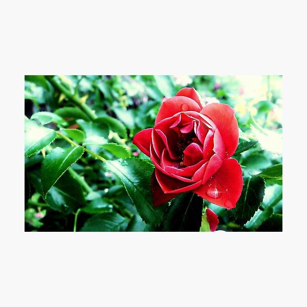 A drop on a petal Photographic Print
