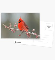 Cardinal on Swamp Maple Branch Postcards