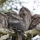 Frogmouth Family Huddle by byronbackyard