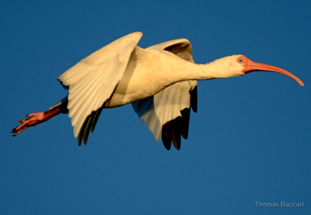 Ibis at Dusk in Flight by TJ Baccari Photography