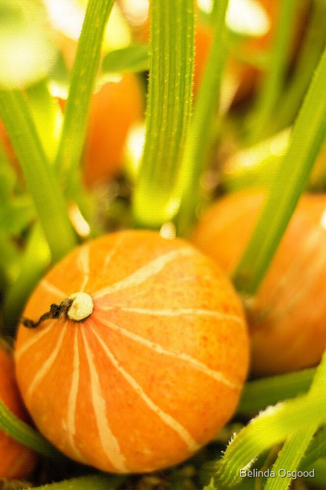 Pumpkin Patch by Belinda Osgood