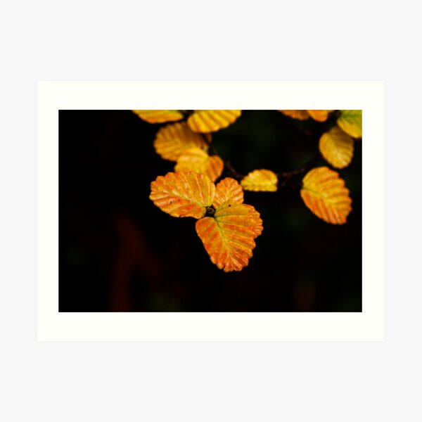 Fagus Week is coming Art Print