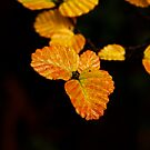 Fagus Week is coming by Claire Walsh