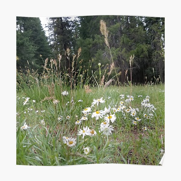 Field of Daisy Poster