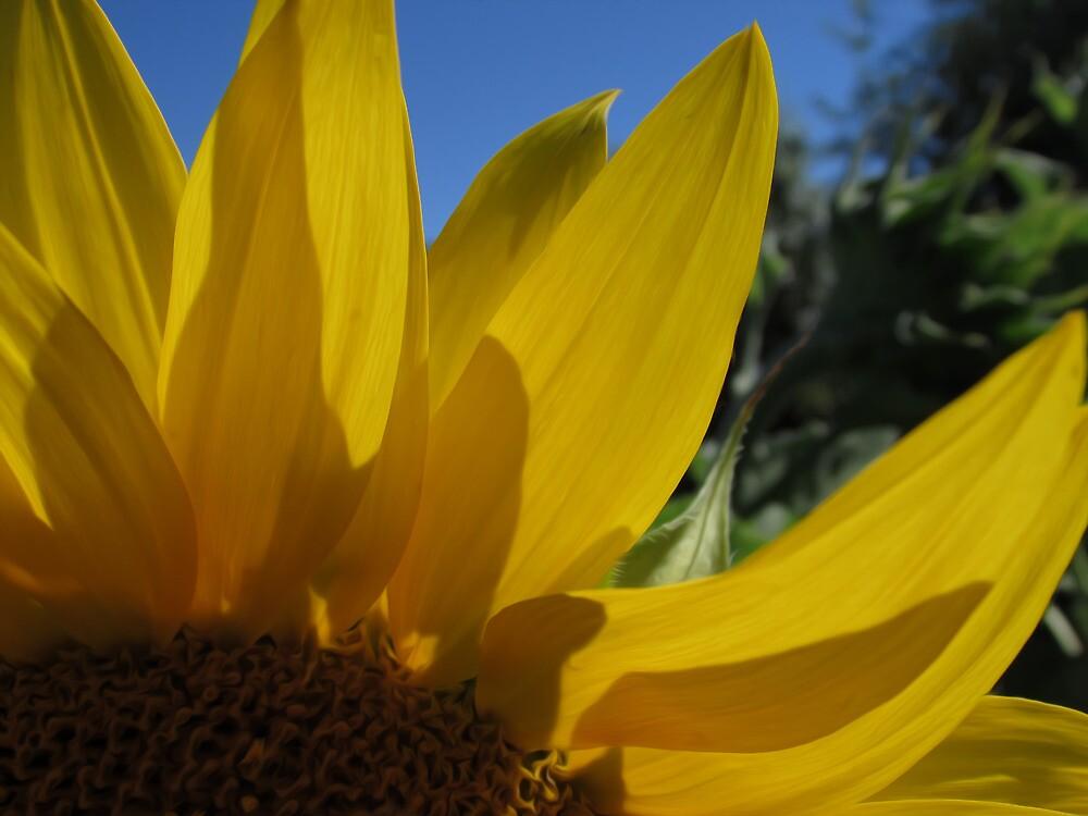 Sunflower Petals by Hacksaw