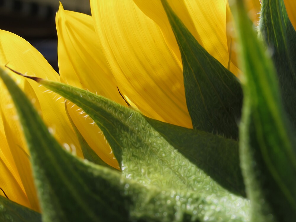 Sunflower by Hacksaw