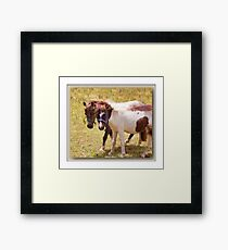 There's nothing phony about a Shetland Pony Framed Print