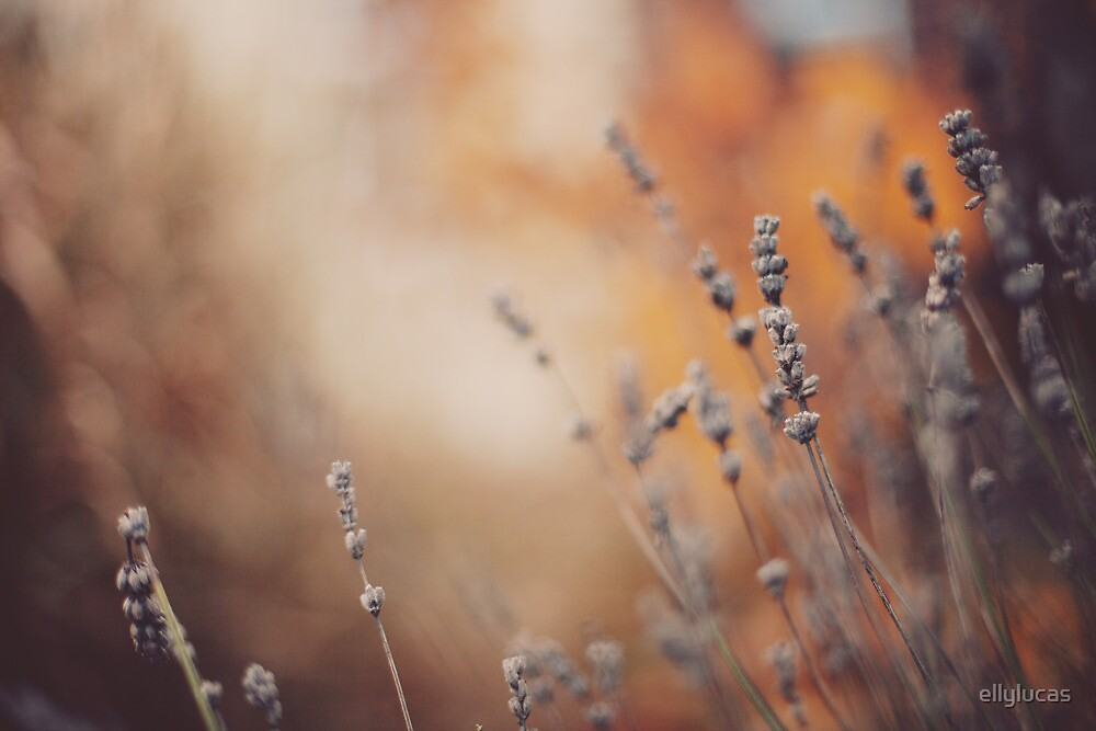 The lavender in the Autumn. by ellylucas
