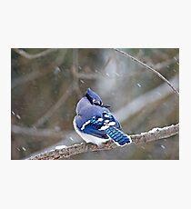 Blue Jay - Cyanocitta cristata  Photographic Print