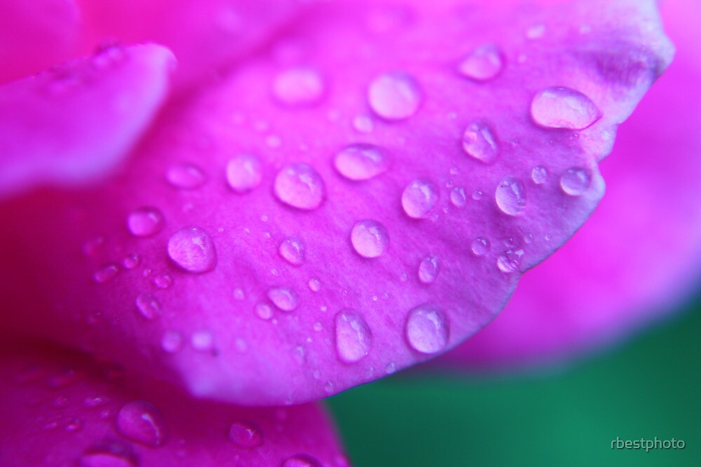 Rose drops by rbestphoto