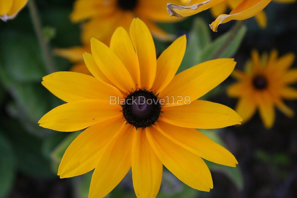 """Blackeyed Susan"" by BlackDove1128"