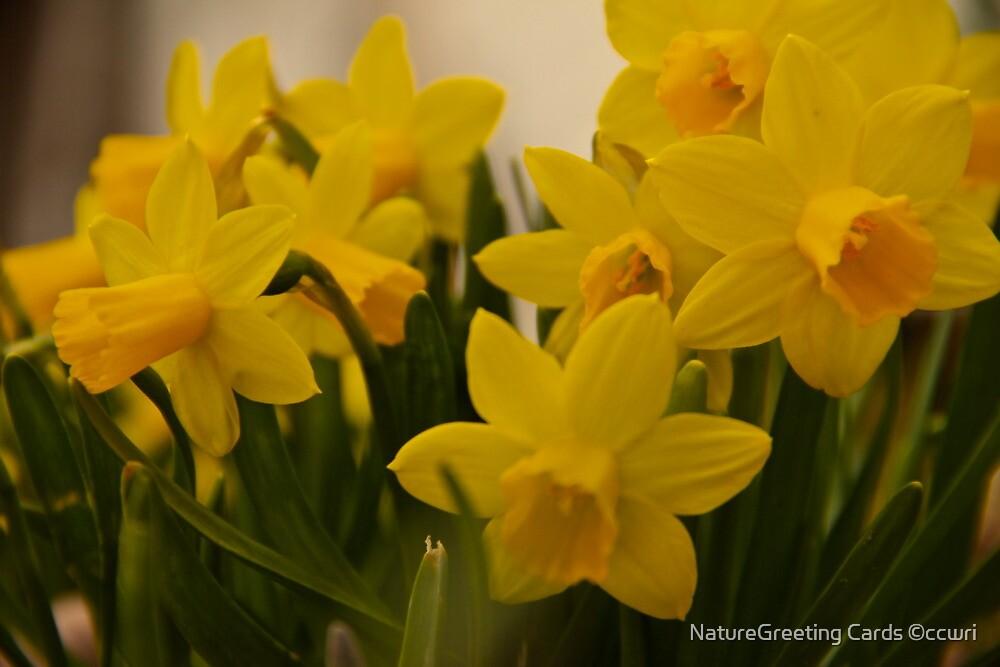 Daffodils by NatureGreeting Cards ©ccwri