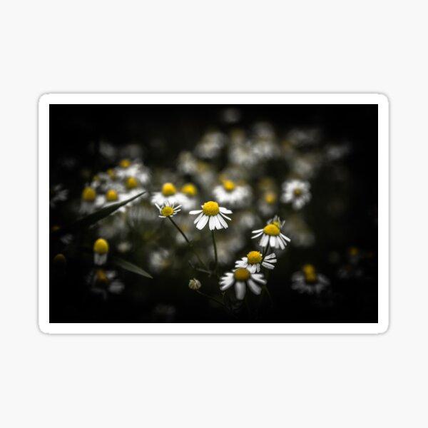 Daisies and black background (photo landscape) Sticker