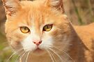 Golden Eyes by NatureGreeting Cards ©ccwri