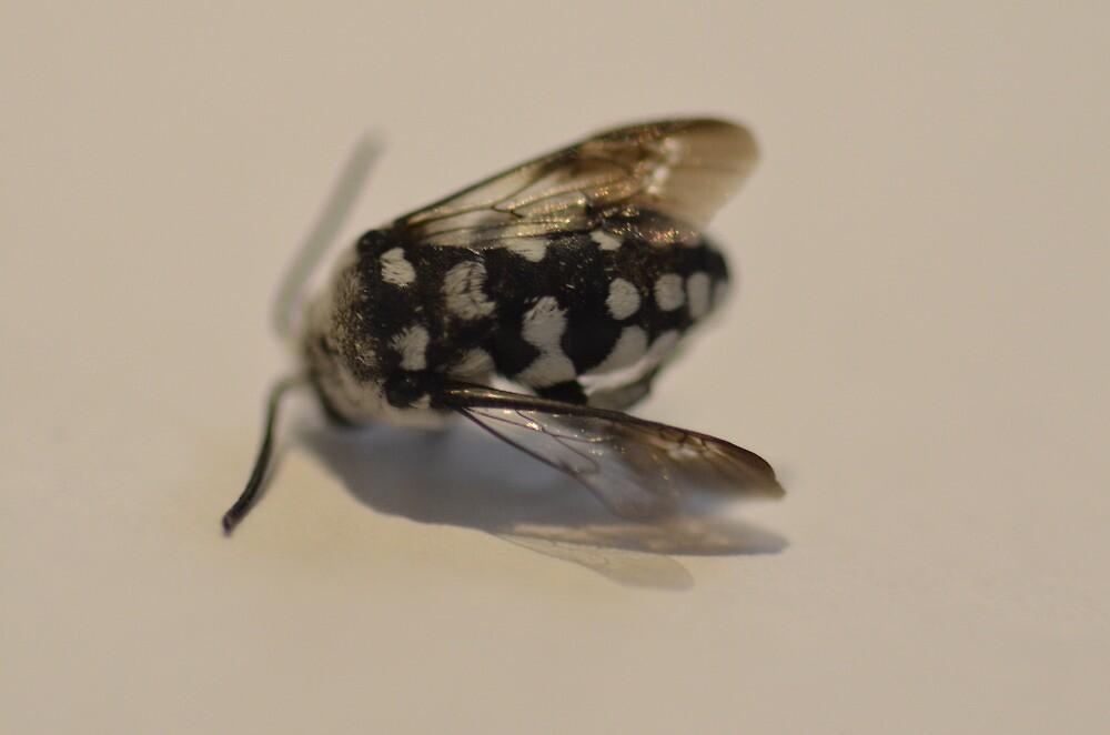 Macro Domino Cuckoo Bee by AliciaJayde