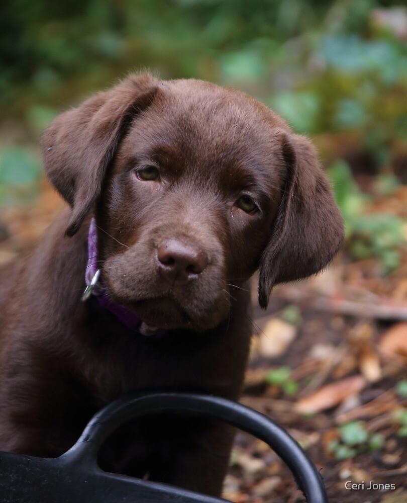 Labrador Puppy by Ceri Jones