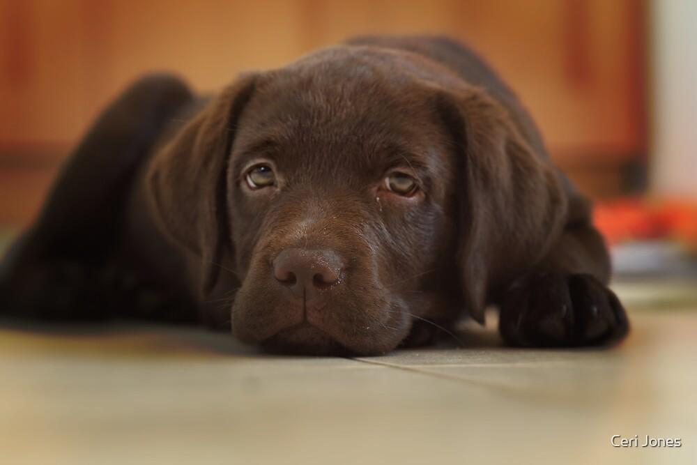 Resting Labrador Puppy  by Ceri Jones