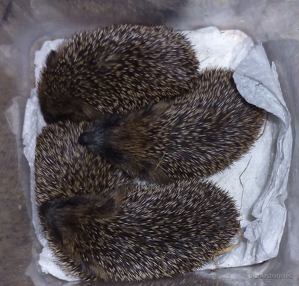 box of baby hedgehogs by bibblesbunnies
