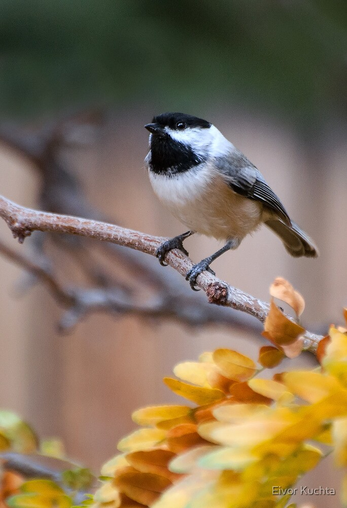 Black-capped Chickadee by Eivor Kuchta