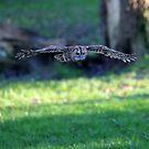 Tawney Owl in flight by AndyV