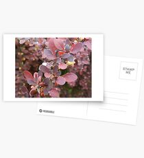 Pearls - Raindrops on Bayberry Postcards