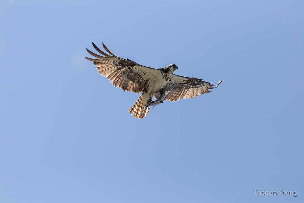 Osprey With Catch by Thomas Young