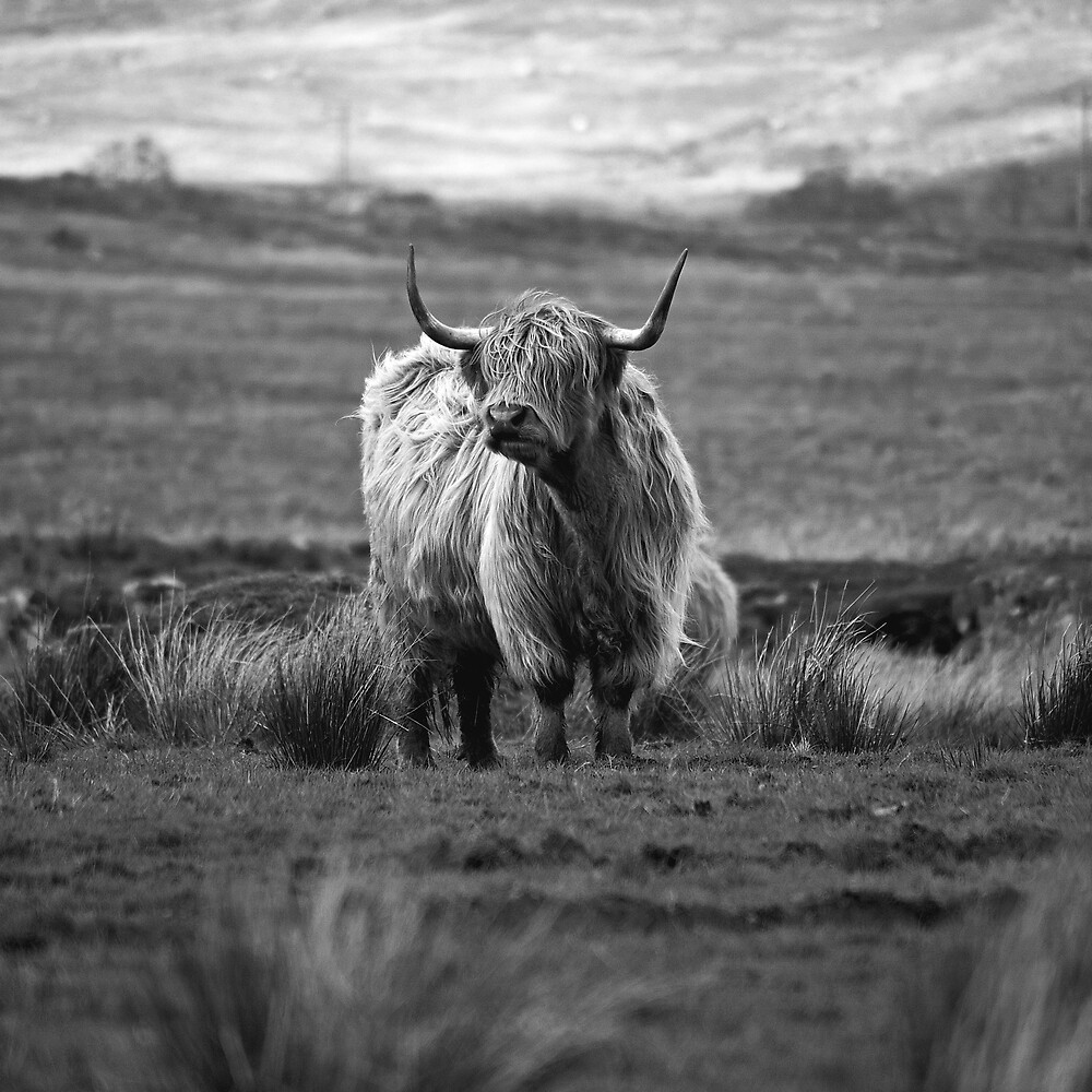 Highland Cow by Alextaylorphoto