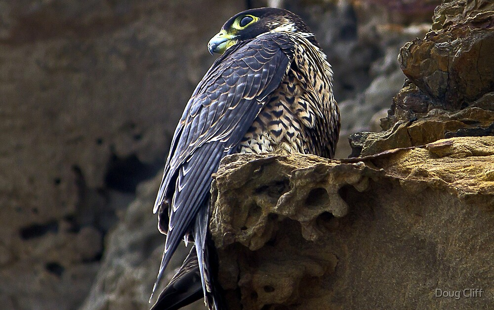 Peregrine Falcon by Doug Cliff