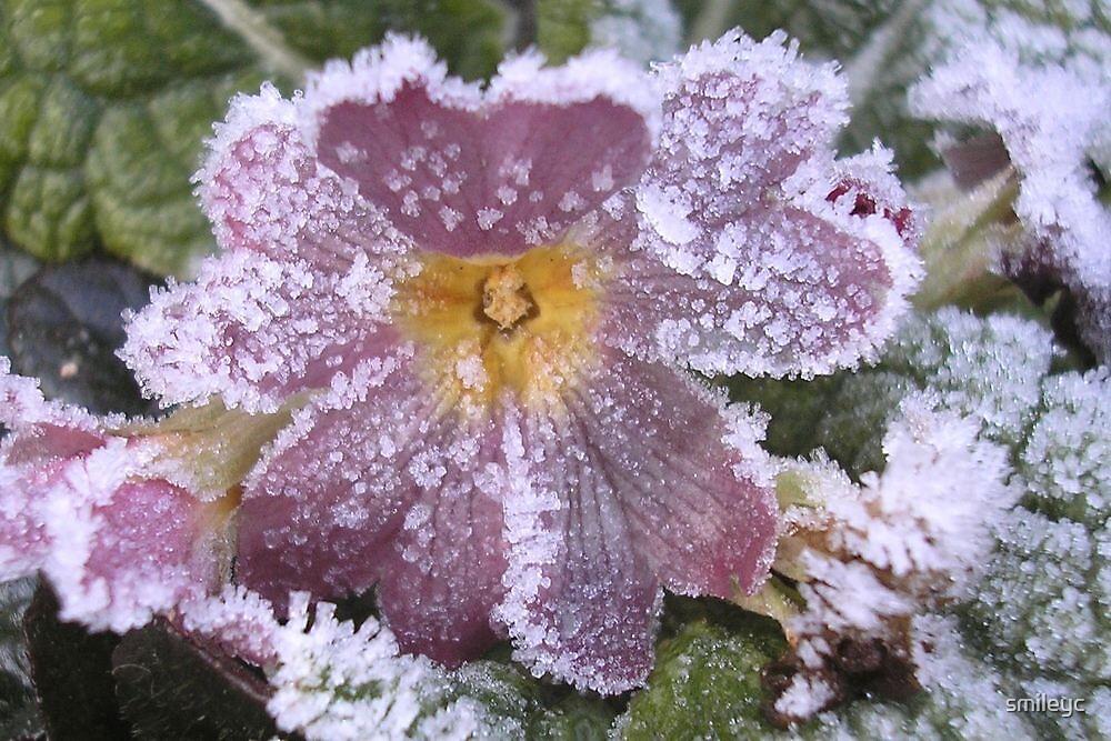 frozen Primrose by smileyc