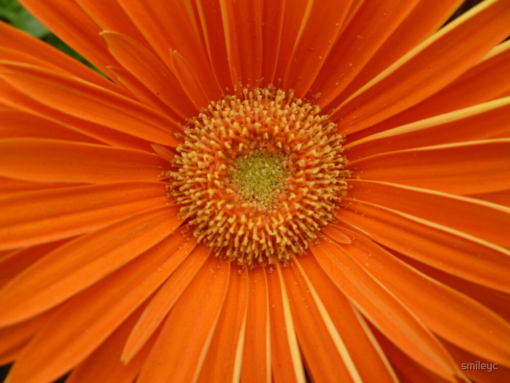 gerbra - orange tang by smileyc
