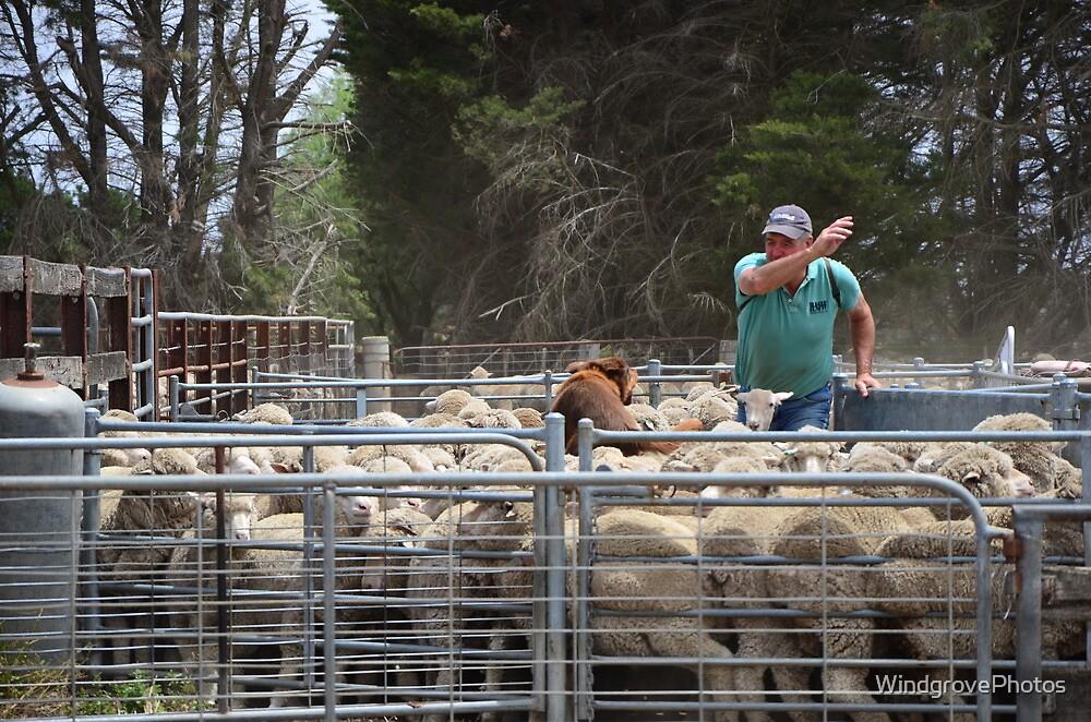 The Sheep's Back by WindgrovePhotos