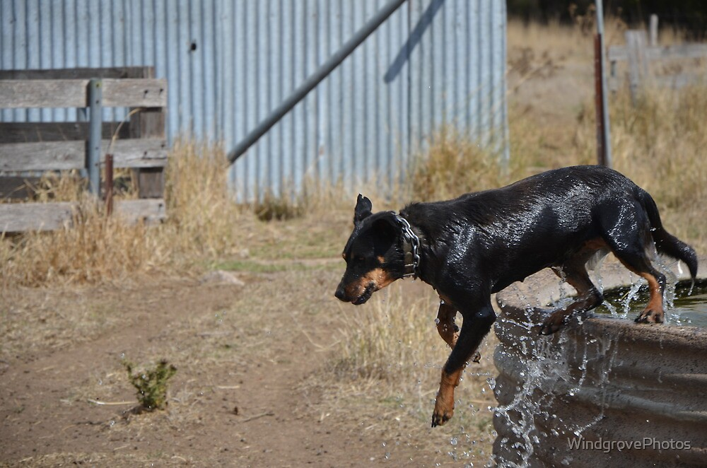 Wet Working Dog! by WindgrovePhotos