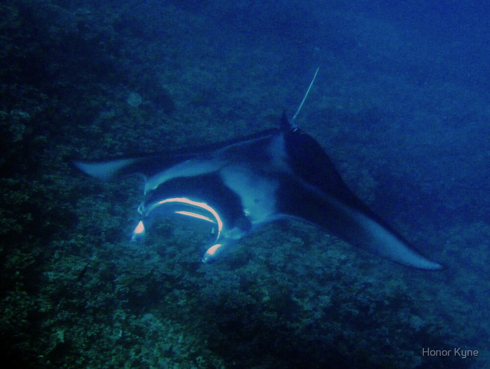 Giant Manta Ray by Honor Kyne