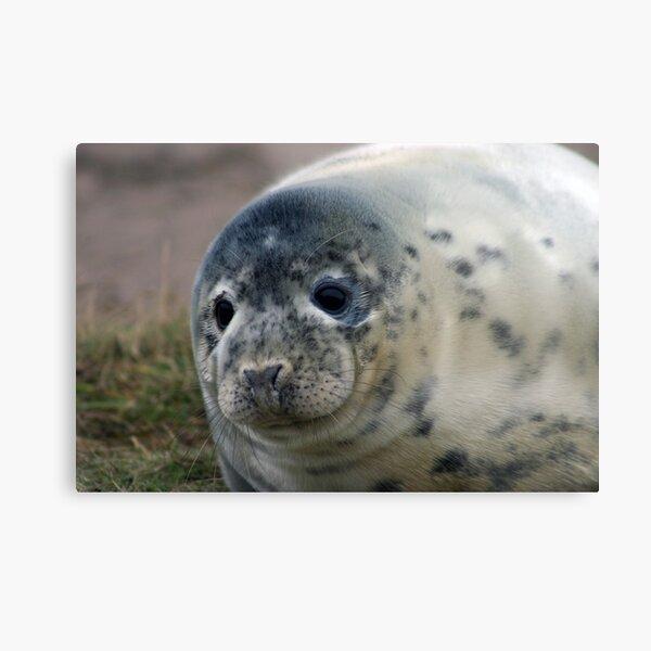 Grey Seal Pup Metal Print