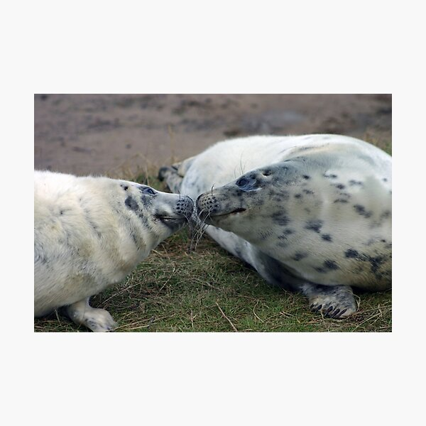 Grey Seal Pups Sniffing each other Photographic Print