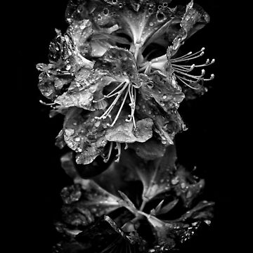Backyard Flowers In Black And White 1 After The Storm by learningcurveca