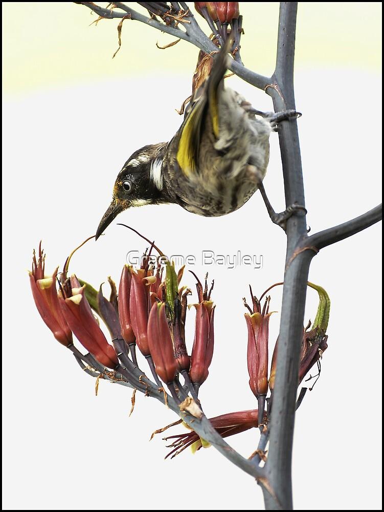 Honeyeater I by Graeme Bayley
